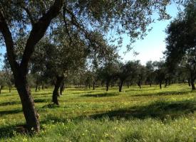 Il Consiglio Comunale chiede alla Regione un piano d'azione preventivo per la Xylella fastidios
