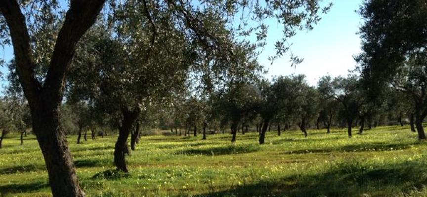 Oggi a Santa Maria la Palma una giornata per i bambini dedicata alle olive