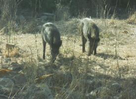 Cattura dei cinghiali nei terreni agricoli