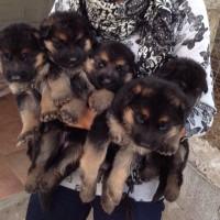Disponibili a Maristella bellissimi cuccioli