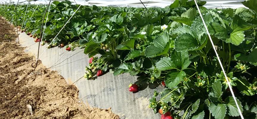 Oltre trecentomila piante di fragole nell'agro di Alghero: la sagra dell'8 maggio trampolino verso un futuro possibile